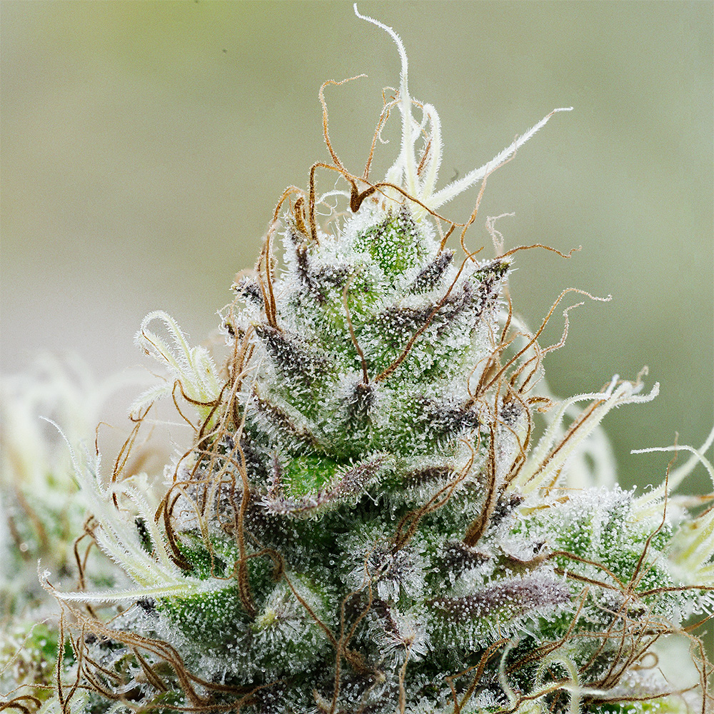 TASTE BUDS: White Widow. Infused Recipes and Meal Pairings.