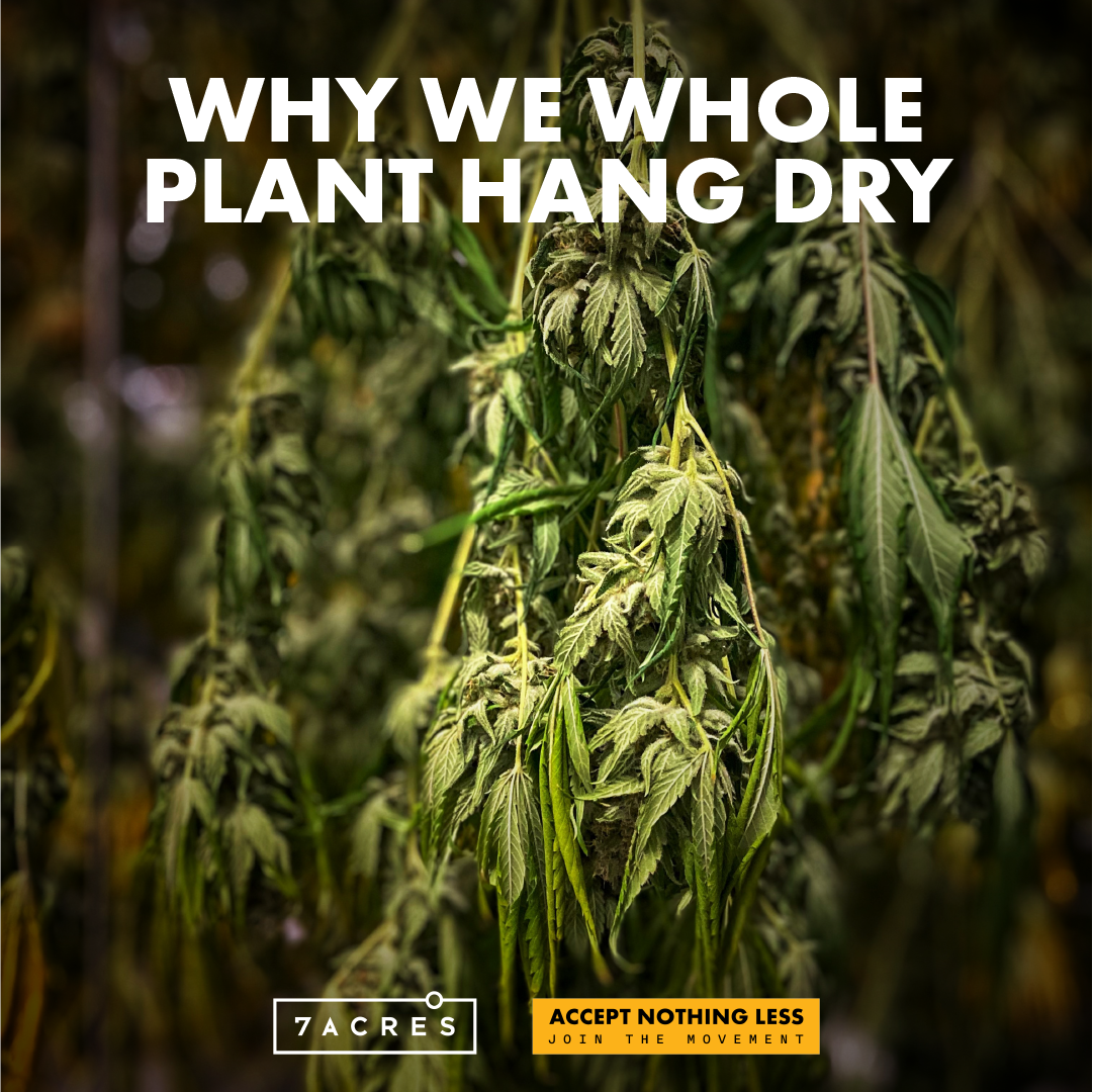 Why We Whole Plant Hang Dry